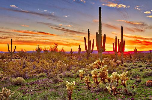 Фотообои. Фрески. Картины. Пустыня Сонора. Кактусы. Закат. Природа. Пейзаж