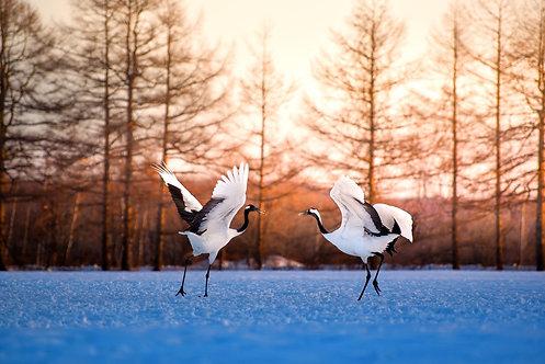 Танцующие японские журавли. Хоккайдо, Япония