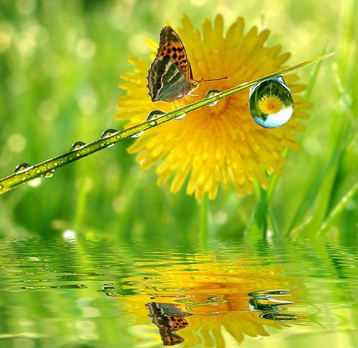 Желтый одуванчик над водой и бабочка на зеленой траве с каплями росы