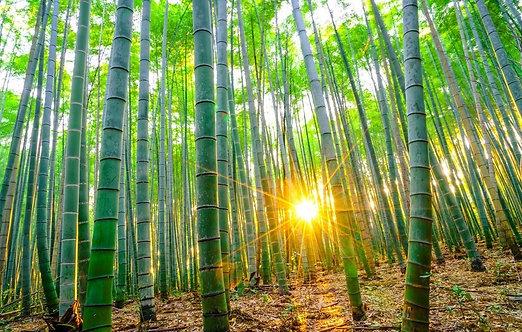 Бамбуковый лес солнечным утром