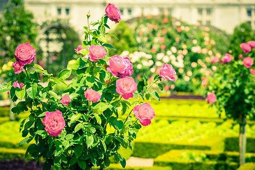 Фотообои. Фрески. Картины. Розовые розы в саду. Природа и пейзажи