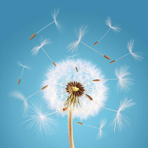 Одуванчик с разлетающимися семенами на фоне голубого неба