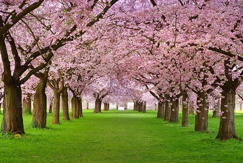 Декоративный сад с  цветущими деревьями сакуры на зеленой лужайке