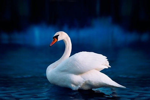Белый лебедь и озеро после заката
