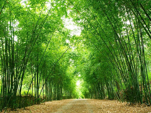 Тропа через бамбуковый лес