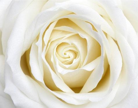Бутон белой розы крупным планом