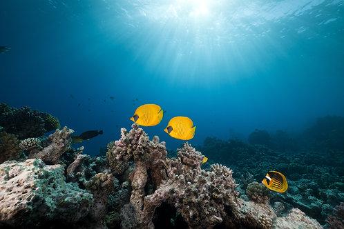 Замаскированная рыба-бабочка и тропический риф в Красном море