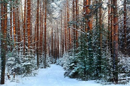 Зимний сосновый лес