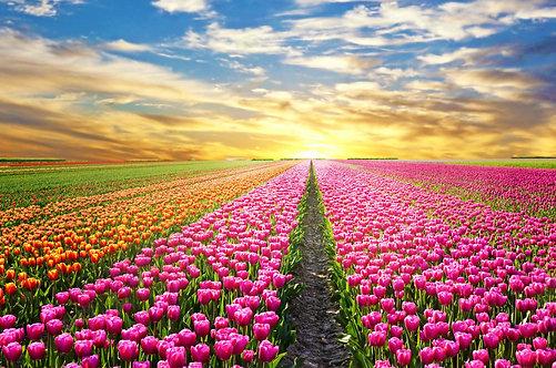Пейзаж с восходом солнца над полем тюльпанов в Нидерландах