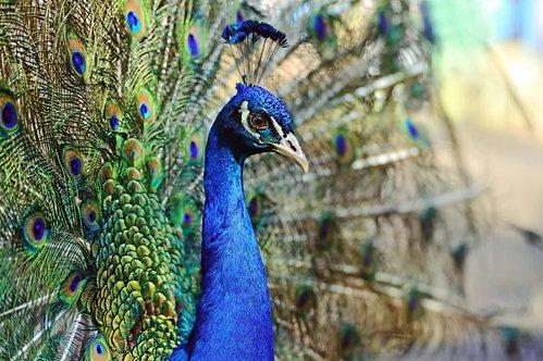 Дикий павлин на острове Шри-Ланка