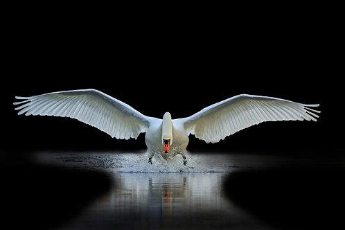 Белый лебедь с распахнутыми крыльями взмывает из воды