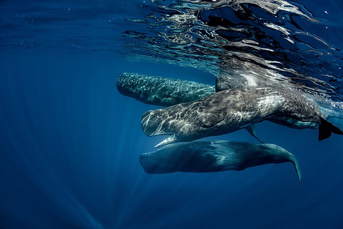 Самые большие хищники мира в голубом океане - кашалоты у берегов Сао