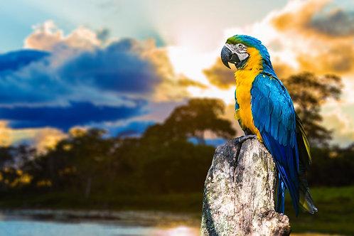 Желто-синий попугай в Пантанале на фоне заката, Бразилия