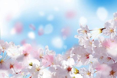 Цветущая сакура крупным планом