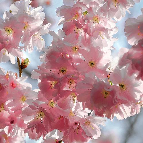 Ветка цветущей сакуры с розовыми цветками крупным планом