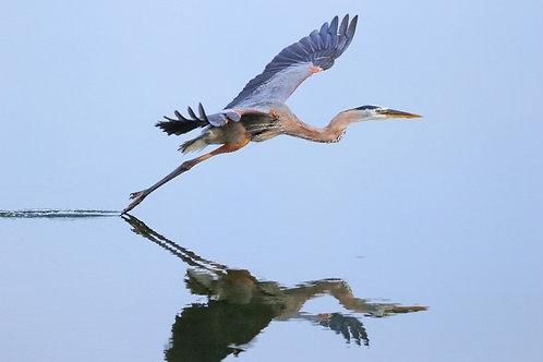 Большая голубая цапля взлетает из воды