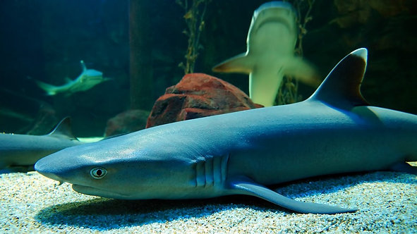 Акулы в аквариуме - Малайзия