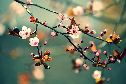Ветка цветущей сакуры весной в Японии в голубом фоне