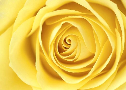Желтая роза крупным планом