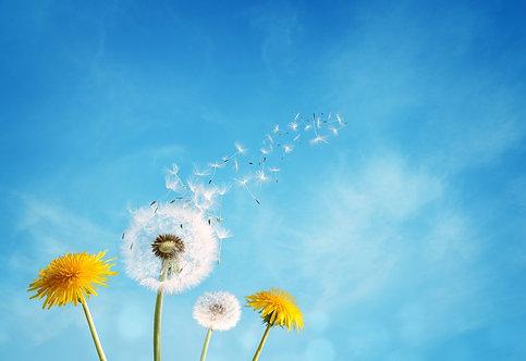 Белые и жетые одуванчики с улетающими семенами на фоне голубого неба