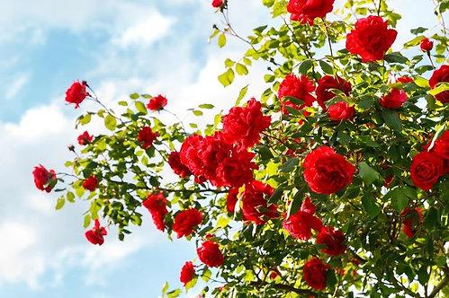 Фотообои. Фрески. Картины. Красные розы в саду. Цветы. Природа и пейзажи