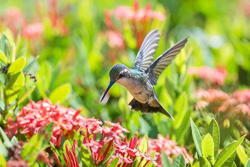 Колибри парит над цветами