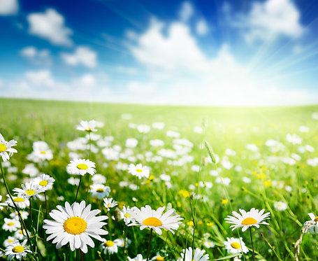 Белые ромашки в поле на фоне голубого неба