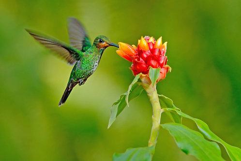 Колибри пьет нектар из красного цветка