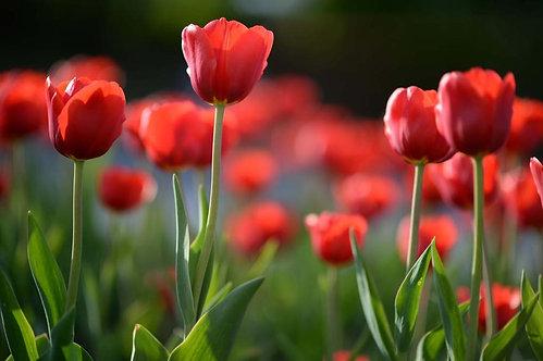 Красные тюльпаны в лучах солнца