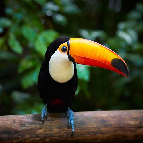 Тукан на ветке в тропическом лесу Бразилии