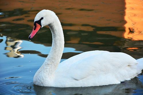 Белый лебедь на озере крупным планом