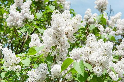 Гроздья цветущей белой сирени