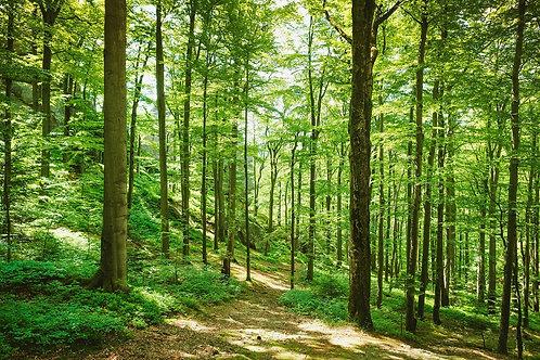 Зеленый лес в солнечных лучах