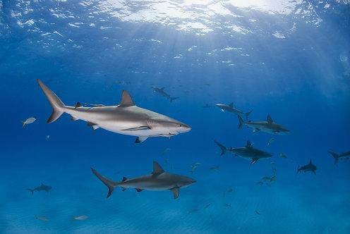 Карибская рифовая акула в прозрачной голубой воде с другими акулами
