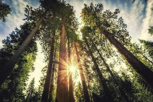 Гигантские секвойи в Йосемитском национальном парке Калифорнии
