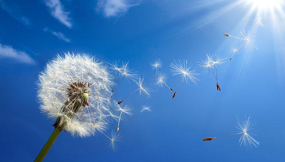 Рассыпающийся одуванчик на фоне голубого солнечного неба