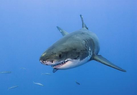 Большая белая акула крупным планом в прозрачной голубой воде