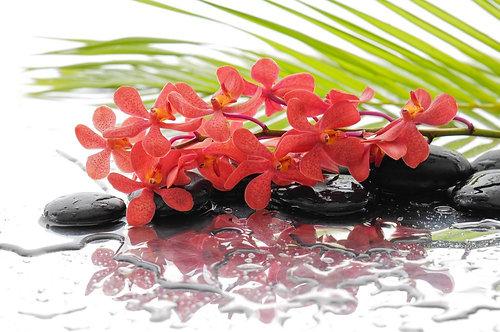 Красная орхидея на черных мокрых камнях