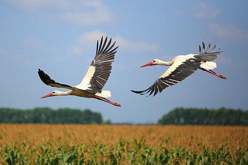 Два аиста летят над полем