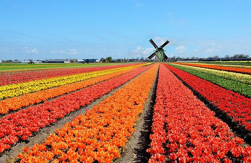 Голландская ветряная мельница и поле разноцветные тюльпанов