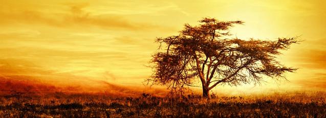 Панорама с силуэтом большого африканского дерева в саванне на закате | #100685164
