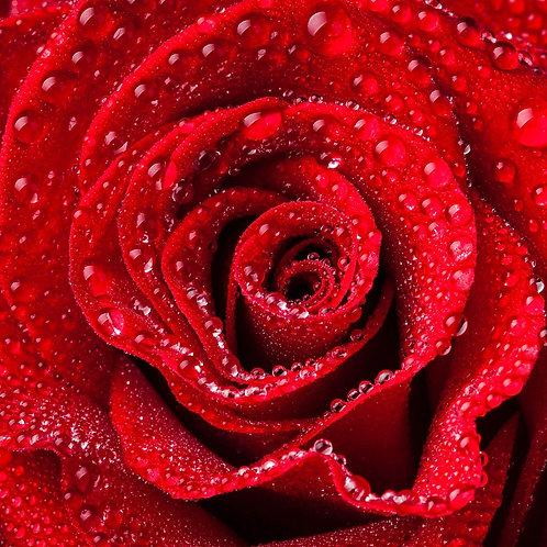 Красная роза крупным планом с каплями воды
