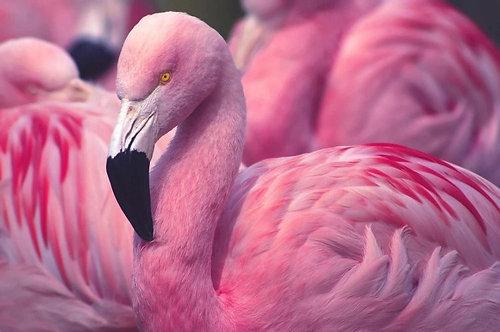 Чилийский розовый фламинго крупным планом