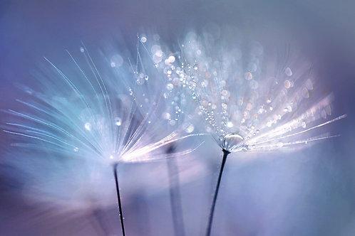 Семена одуванчика с каплями росы на сине-голубом размытом фоне