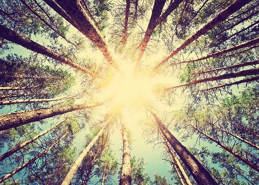 Вид снизу на верхушки сосен и солнце в ретро-стиле