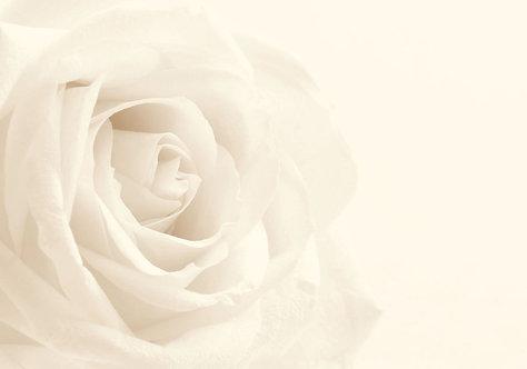 Белая роза крупным планом в виде фона в ретро-стиле