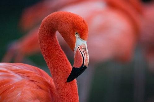 Фламинго крупным планом