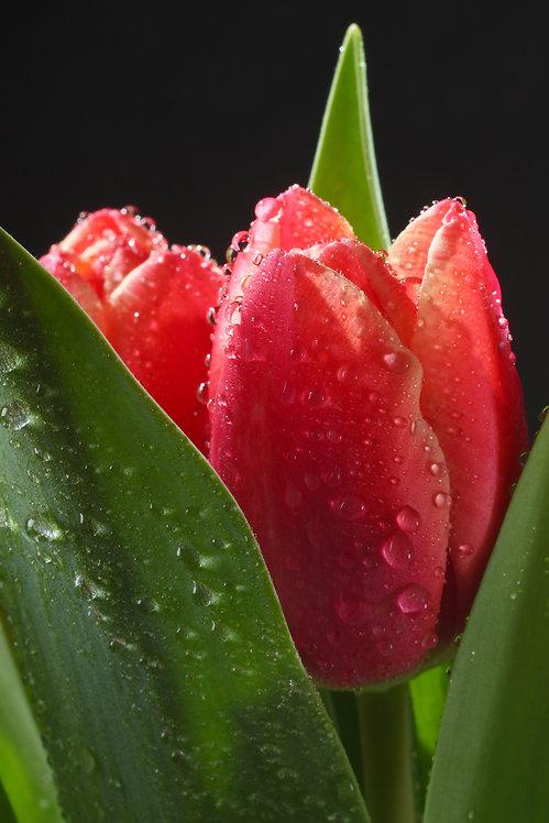 Бутоны красных тюльпанов с каплями воды на черном фоне