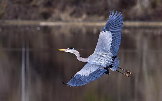 Голубая цапля с расправленными крыльями пролетает над землей