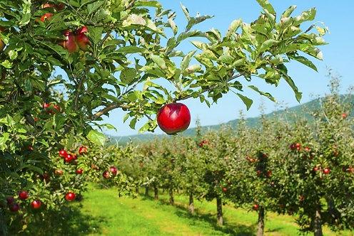 Фотообои. Фрески. Картины. Яблони в саду. Красные яблоки. Природа и пейзажи